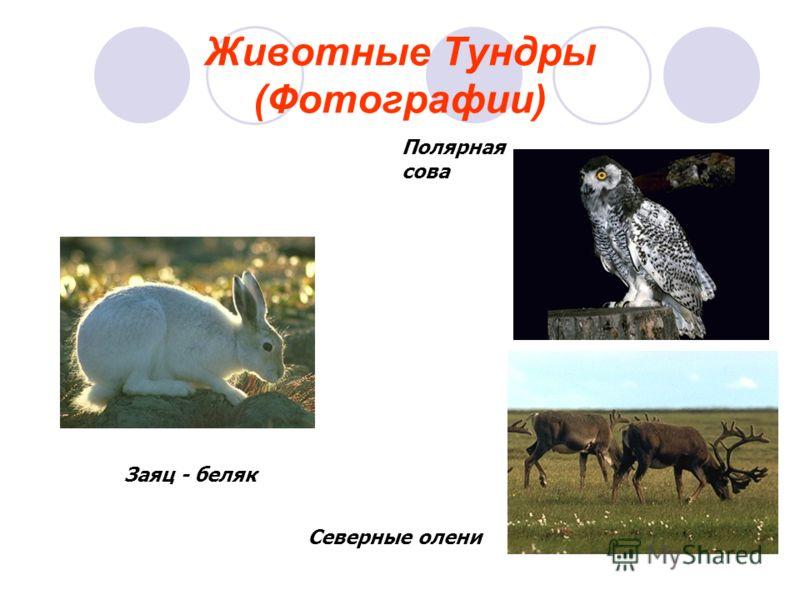 Полярная сова Северные олени Заяц - беляк
