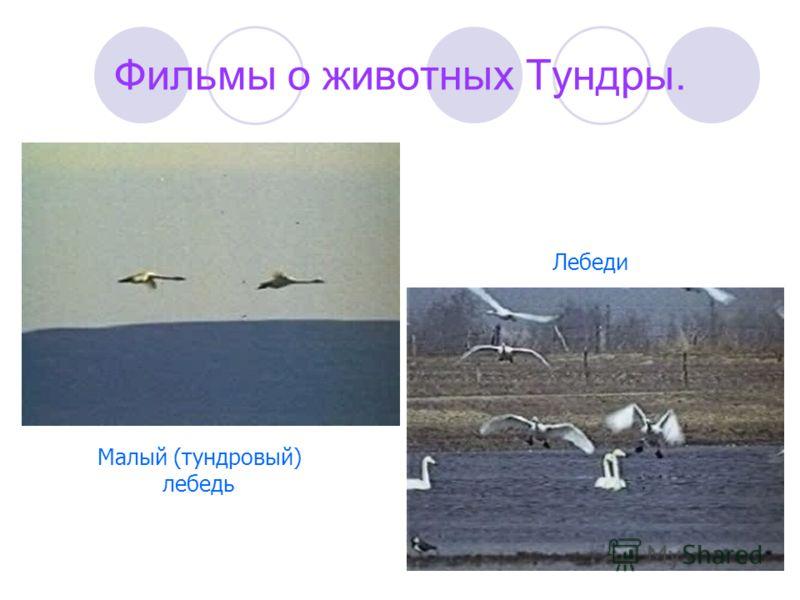 Фильмы о животных Тундры. Малый (тундровый) лебедь Лебеди