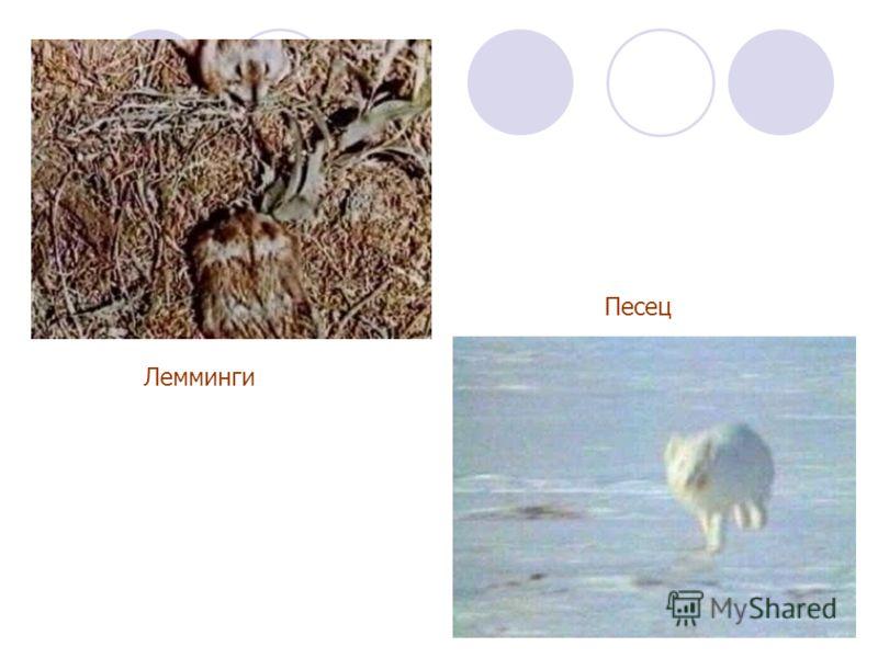 Лемминги Песец