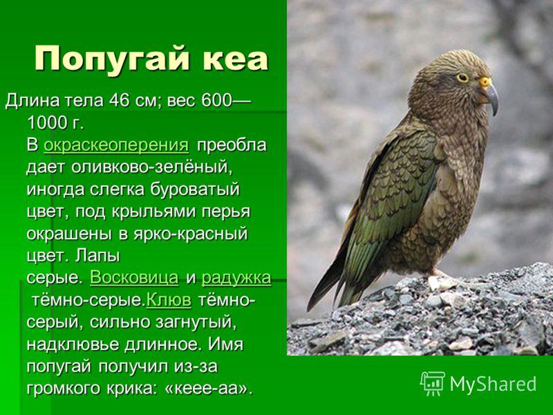 Попугай кеа Длина тела 46 см; вес 600 1000 г. В окраскеоперения преобла дает оливково-зелёный, иногда слегка буроватый цвет, под крыльями перья окрашены в ярко-красный цвет. Лапы серые. Восковица и радужка тёмно-серые.Клюв тёмно- серый, сильно загнут