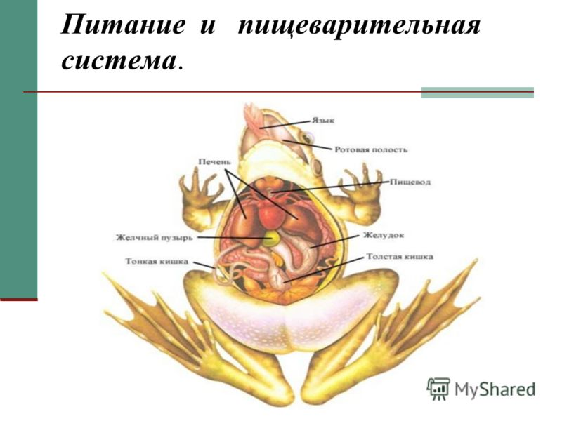 Питание и пищеварительная система.