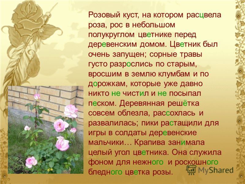 Розовый куст, на котором расцвела роза, рос в небольшом полукруглом цветнике перед деревенским домом. Цветник был очень запущен; сорные травы густо разрослись по старым, вросшим в землю клумбам и по дорожкам, которые уже давно никто не чистил и не по