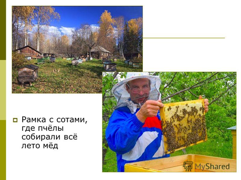Рамка с сотами, где пчёлы собирали всё лето мёд