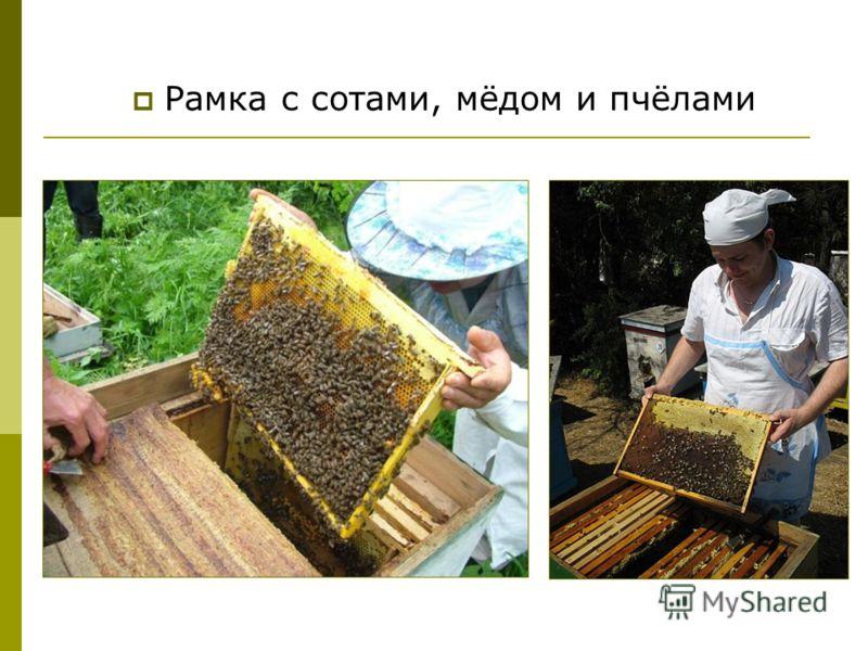 Рамка с сотами, мёдом и пчёлами
