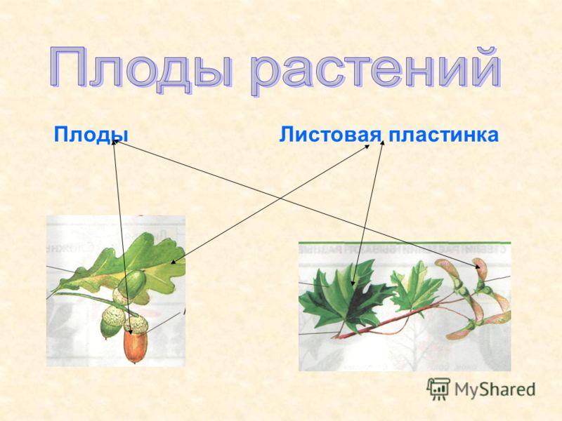Плоды Листовая пластинка