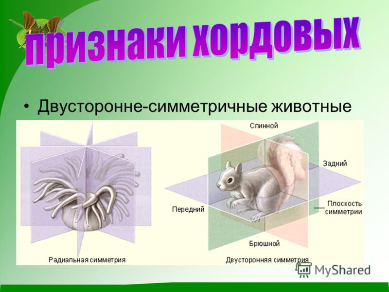 Двусторонне-симметричные животные