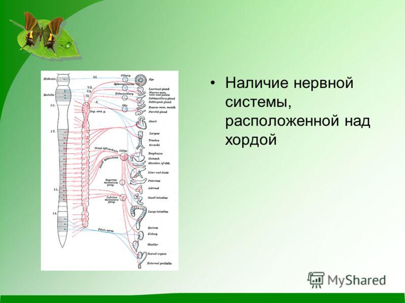 Наличие нервной системы, расположенной над хордой