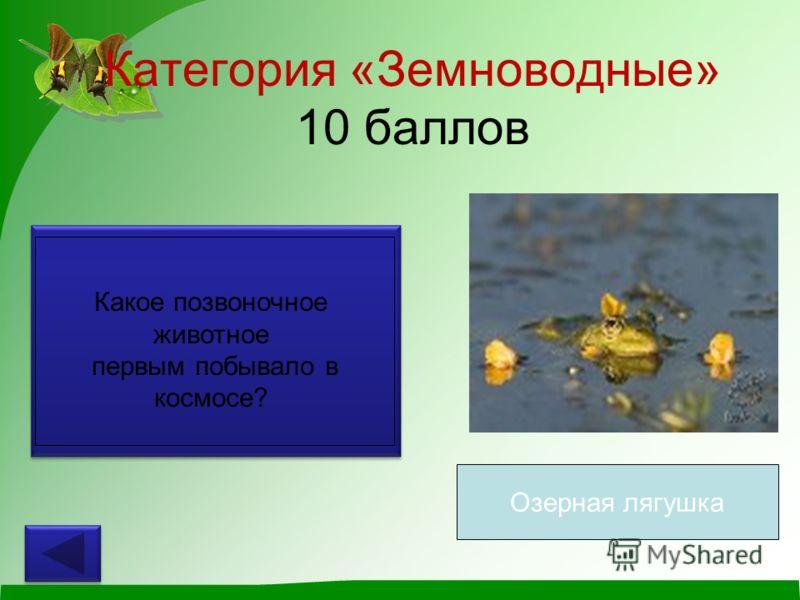 Категория «Земноводные» 10 баллов Какое позвоночное животное первым побывало в космосе? Озерная лягушка