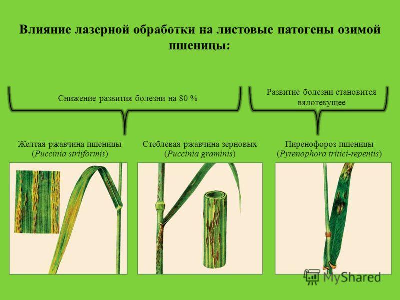 Желтая ржавчина пшеницы (Puccinia striiformis) Пиренофороз пшеницы (Pyrenophora tritici-repentis) Влияние лазерной обработки на листовые патогены озимой пшеницы: Снижение развития болезни на 80 % Развитие болезни становится вялотекущее Стеблевая ржав