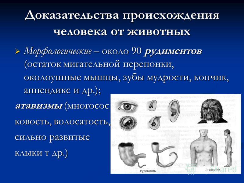 Доказательства происхождения человека от животных Морфологические – около 90 рудиментов (остаток мигательной перепонки, околоушные мышцы, зубы мудрости, копчик, аппендикс и др.); Морфологические – около 90 рудиментов (остаток мигательной перепонки, о