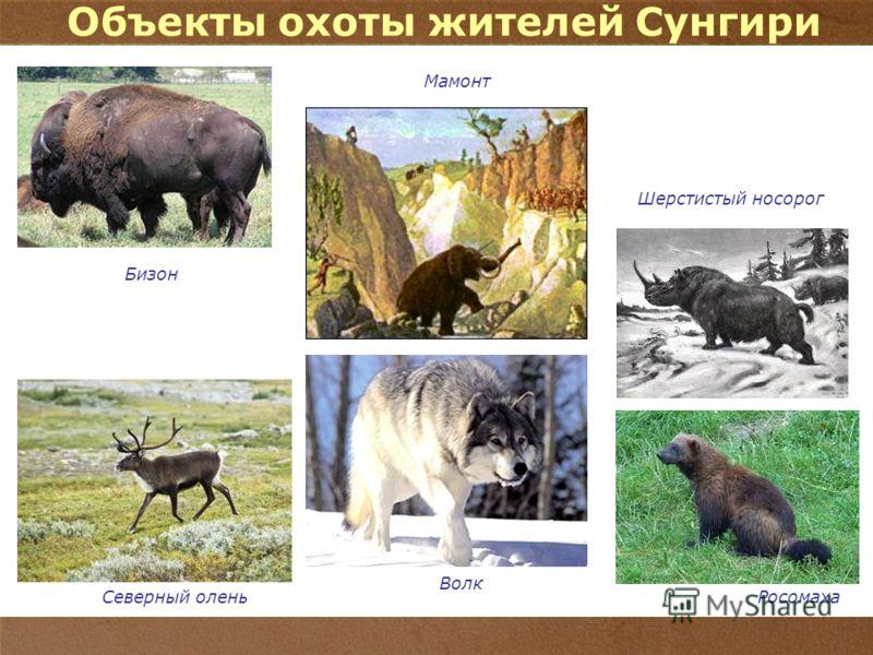 9 Шерстистый носорог Северный оленьРосомаха Объекты охоты жителей Сунгири Волк Бизон Мамонт