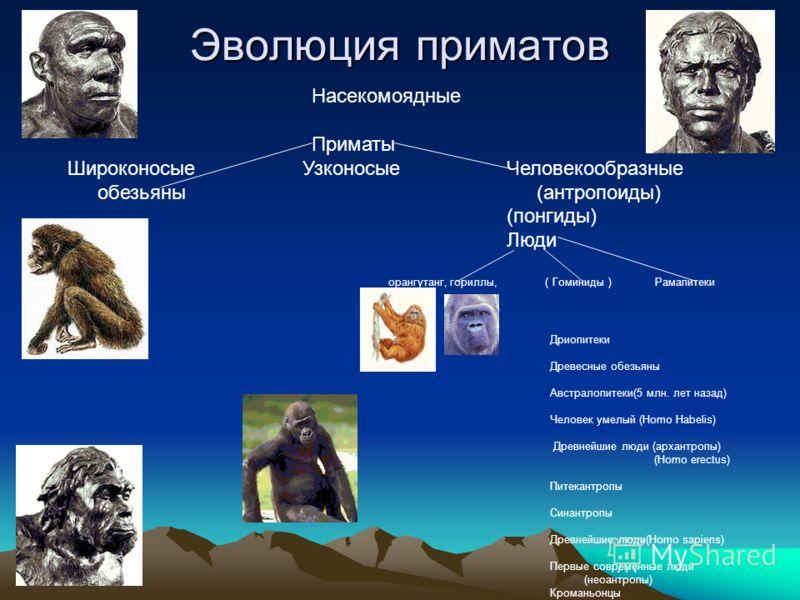 Эволюция приматов Насекомоядные Приматы Широконосые Узконосые Человекообразные обезьяны (антропоиды) (понгиды) Люди орангутанг, гориллы, ( Гоминиды ) Рамапитеки Дриопитеки Древесные обезьяны Австралопитеки(5 млн. лет назад) Человек умелый (Homo Habel