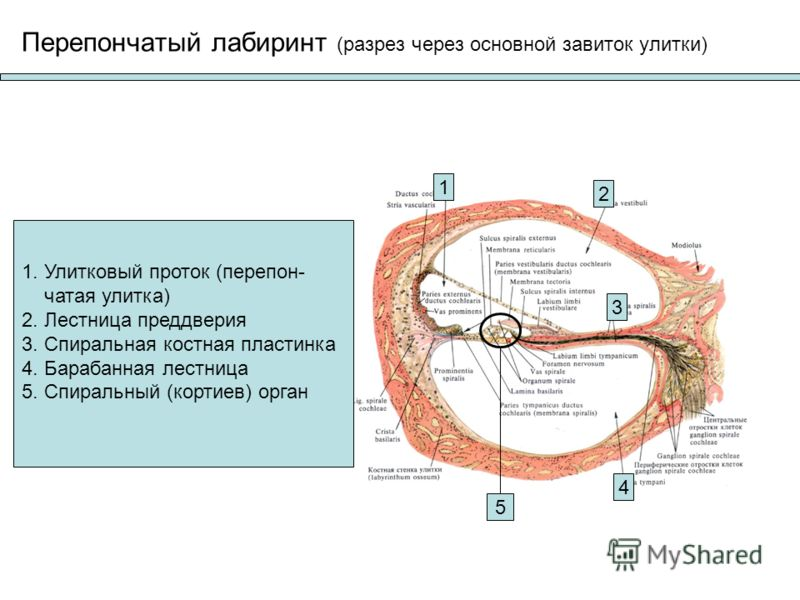 Лабиринт костный фото