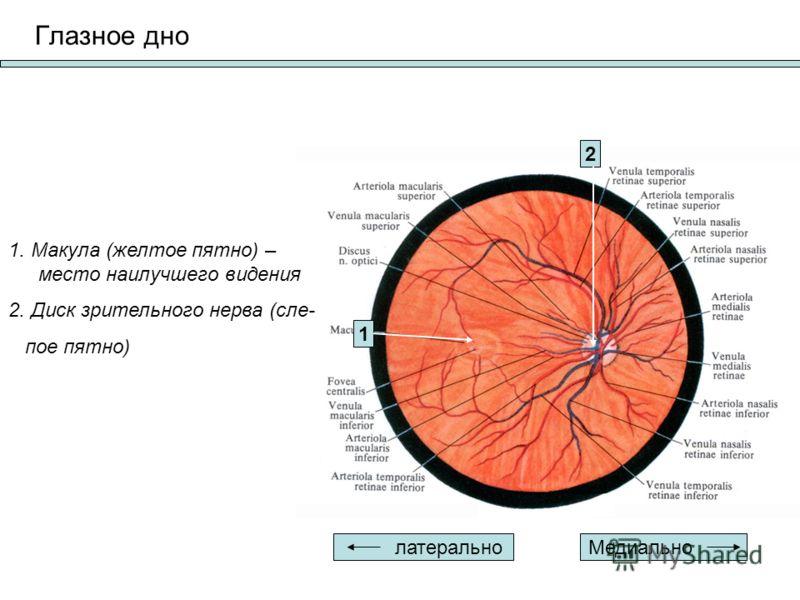 Глазное дно Медиально латерально 1 2 1. Макула (желтое пятно) – место наилучшего видения 2. Диск зрительного нерва (сле- пое пятно)