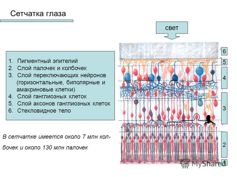 Сетчатка глаза 1.Пигментный эпителий 2.Слой палочек и колбочек 3.Слой переключающих нейронов (горизонтальные, биполярные и амакриновые клетки) 4.Слой ганглиозных клеток 5.Слой аксонов ганглиозных клеток 6.Стекловидное тело 1 2 3 4 5 6 свет В сетчатке