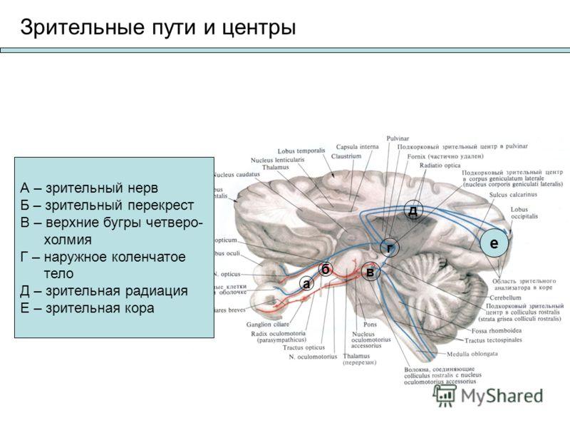 Зрительные пути и центры А – зрительный нерв Б – зрительный перекрест В – верхние бугры четверо- холмия Г – наружное коленчатое тело Д – зрительная радиация Е – зрительная кора а б в г д е