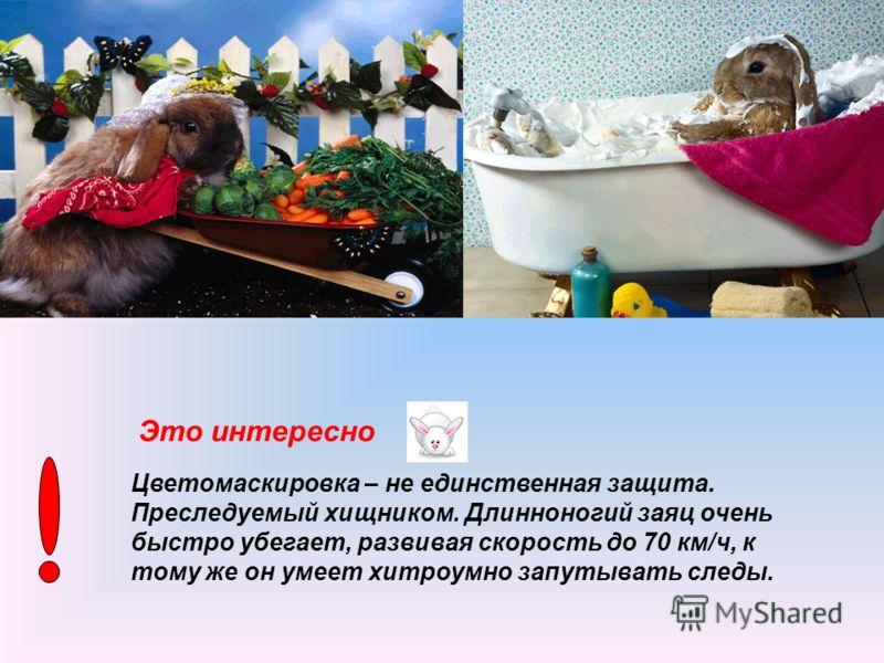 Отряд зайцеобразных включает в себя зайцев, кроликов и пищух – всего около 60 видов. Распространены они почти по всему свету. Облик большеглазого, длинноухого зверя – зайца – знаком всем с самого раннего детства, наверное, у каждого ребёнка есть свой