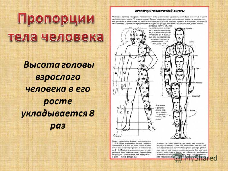 Высота головы взрослого человека в его росте укладывается 8 раз