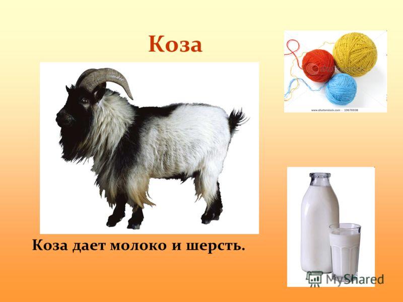 Коза Коза дает молоко и шерсть.