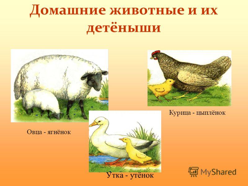 Домашние животные и их детёныши Овца - ягнёнок Утка - утёнок Курица - цыплёнок