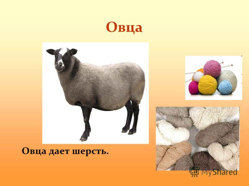 Овца Овца дает шерсть.