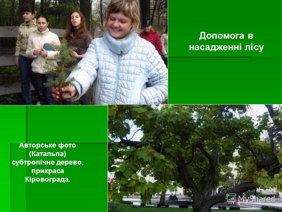 Допомога в насадженні лісу Авторське фото (Катальпа) субтропічне дерево, прикраса Кіровограда.