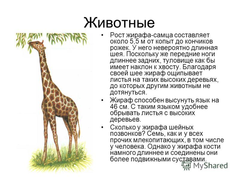 Животные Рост жирафа-самца составляет около 5,5 м от копыт до кончиков рожек. У него невероятно длинная шея. Поскольку же передние ноги длиннее задних, туловище как бы имеет наклон к хвосту. Благодаря своей шее жираф ощипывает листья на таких высоких