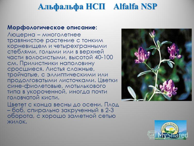 Альфальфа НСП Alfalfa NSP Морфологическое описание: Люцерна – многолетнее травянистое растение с тонким корневищем и четырехгранными стеблями, голыми или в верхней части волосистыми, высотой 40-100 см. Прилистники наполовину сросшиеся. Листья сложные