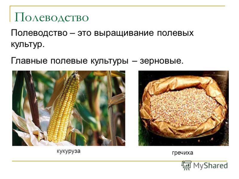 Полеводство кукуруза гречиха Полеводство – это выращивание полевых культур. Главные полевые культуры – зерновые.