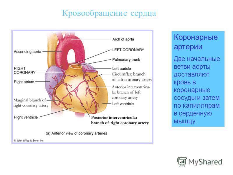 Кровообращение сердца Коронарные артерии Две начальные ветви аорты доставляют кровь в коронарные сосуды и затем по капиллярам в сердечную мышцу.