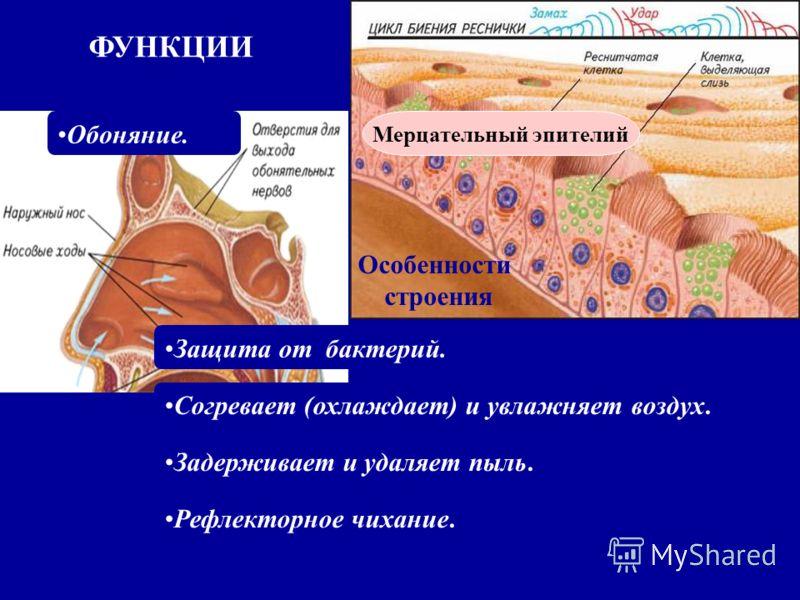 Особенности строения ФУНКЦИИ Согревает (охлаждает) и увлажняет воздух. Задерживает и удаляет пыль. Рефлекторное чихание. Защита от бактерий. Обоняние. Мерцательный эпителий
