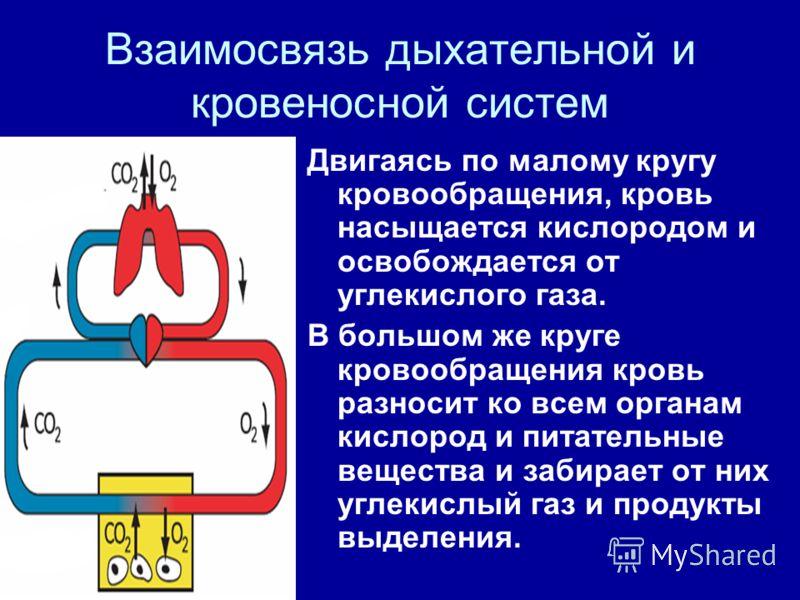 Взаимосвязь дыхательной и кровеносной систем Двигаясь по малому кругу кровообращения, кровь насыщается кислородом и освобождается от углекислого газа. В большом же круге кровообращения кровь разносит ко всем органам кислород и питательные вещества и