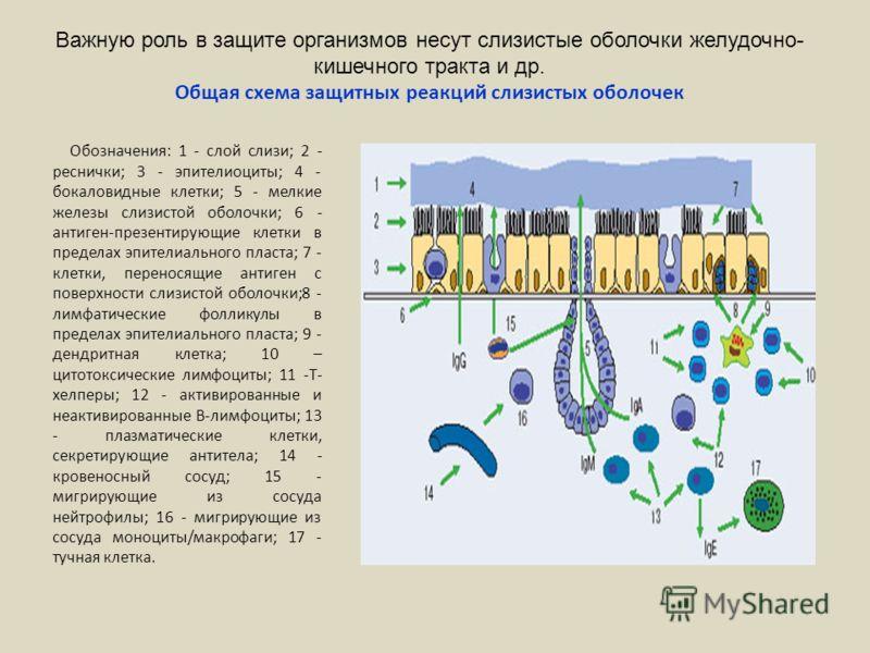Важную роль в защите организмов несут слизистые оболочки желудочно- кишечного тракта и др. Общая схема защитных реакций слизистых оболочек Обозначения: 1 - слой слизи; 2 - реснички; 3 - эпителиоциты; 4 - бокаловидные клетки; 5 - мелкие железы слизист