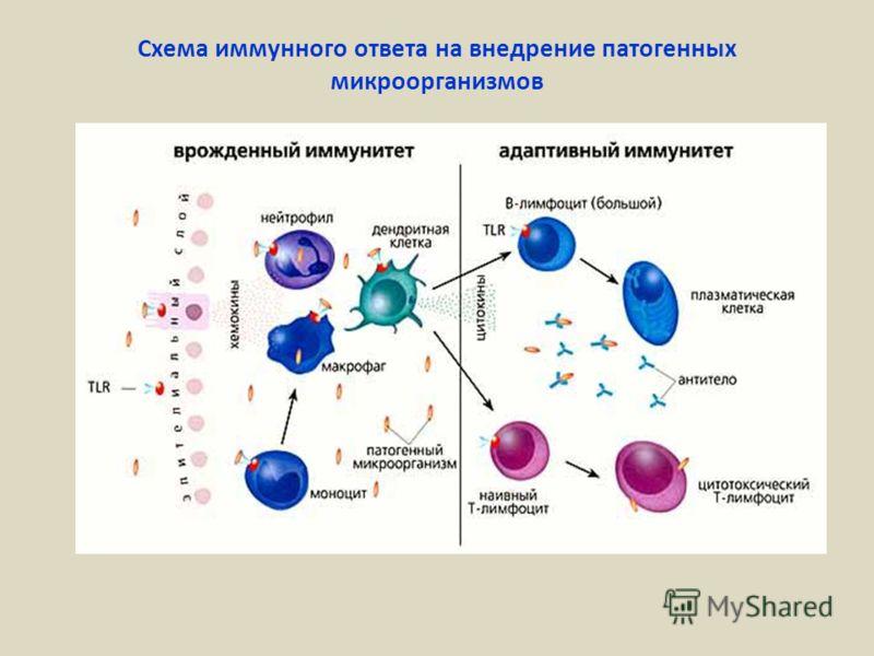 Схема иммунного ответа на внедрение патогенных микроорганизмов
