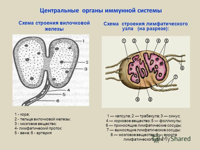 лимфатического узла (на