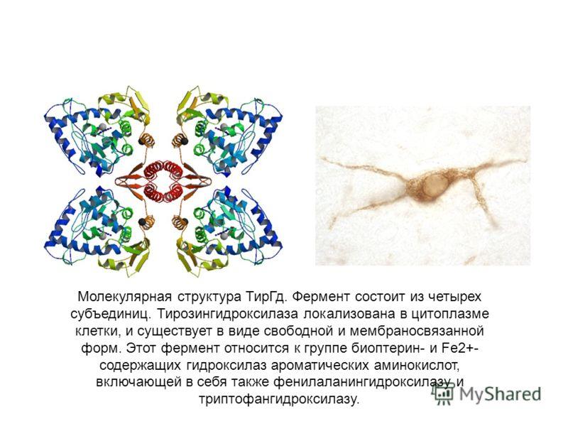 Молекулярная структура ТирГд. Фермент состоит из четырех субъединиц. Тирозингидроксилаза локализована в цитоплазме клетки, и существует в виде свободной и мембраносвязанной форм. Этот фермент относится к группе биоптерин- и Fe2+- содержащих гидроксил