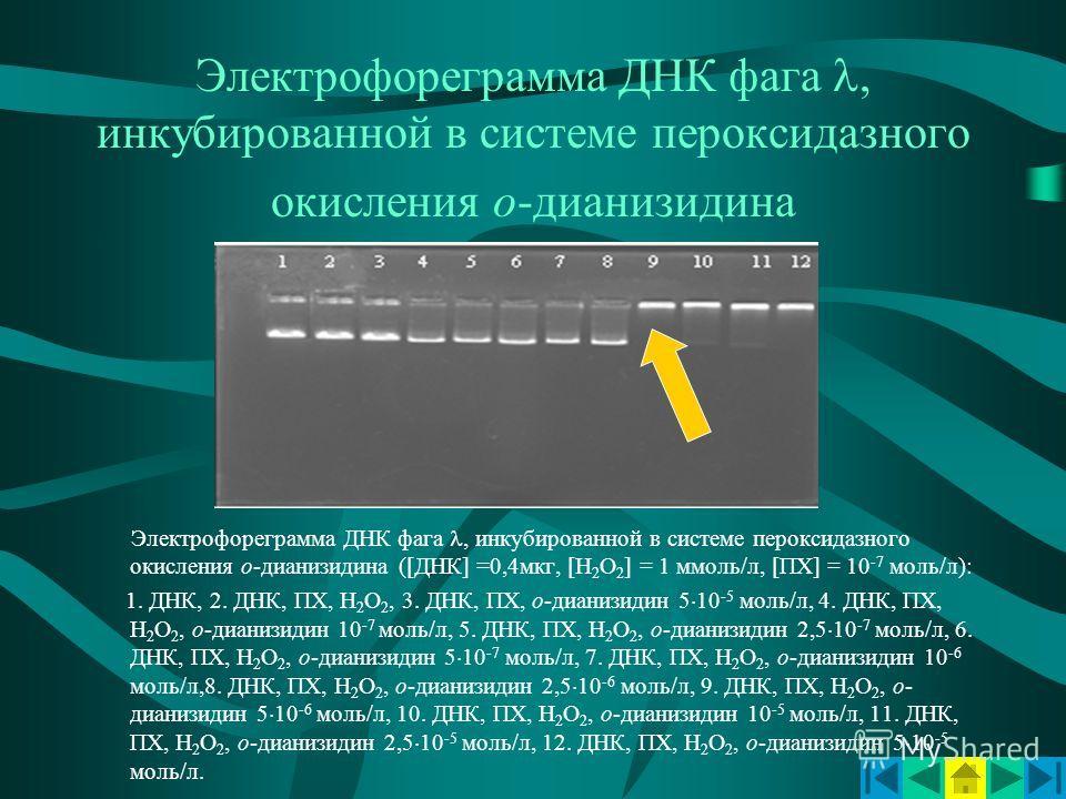 Электрофореграмма ДНК фага, инкубированной в системе пероксидазного окисления о-дианизидина Электрофореграмма ДНК фага, инкубированной в системе пероксидазного окисления о-дианизидина ([ДНК] =0,4мкг, [Н 2 О 2 ] = 1 ммоль/л, [ПХ] = 10 -7 моль/л): 1. Д