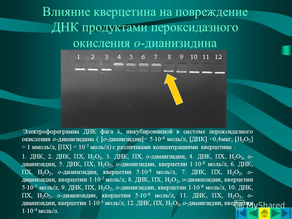 Влияние кверцетина на повреждение ДНК продуктами пероксидазного окисления о-дианизидина Электрофореграмма ДНК фага, инкубированной в системе пероксидазного окисления о-дианизидина ( [о-дианизидин]= 5 10 -6 моль/л, [ДНК] =0,4мкг, [Н 2 О 2 ] = 1 ммоль/
