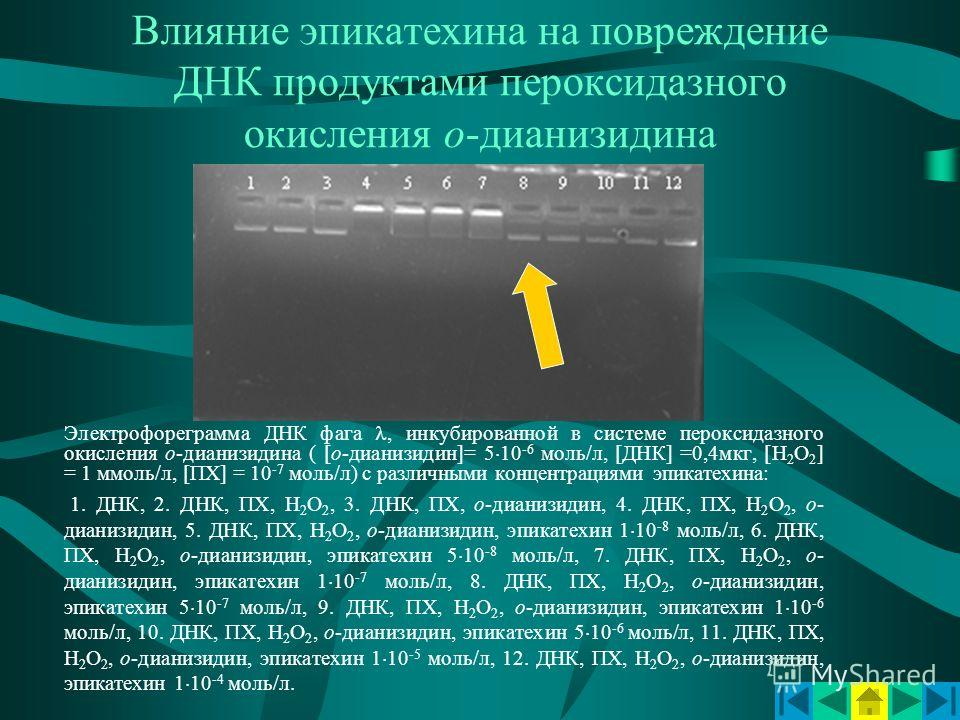 Влияние эпикатехина на повреждение ДНК продуктами пероксидазного окисления о-дианизидина Электрофореграмма ДНК фага, инкубированной в системе пероксидазного окисления о-дианизидина ( [о-дианизидин]= 5 10 -6 моль/л, [ДНК] =0,4мкг, [Н 2 О 2 ] = 1 ммоль