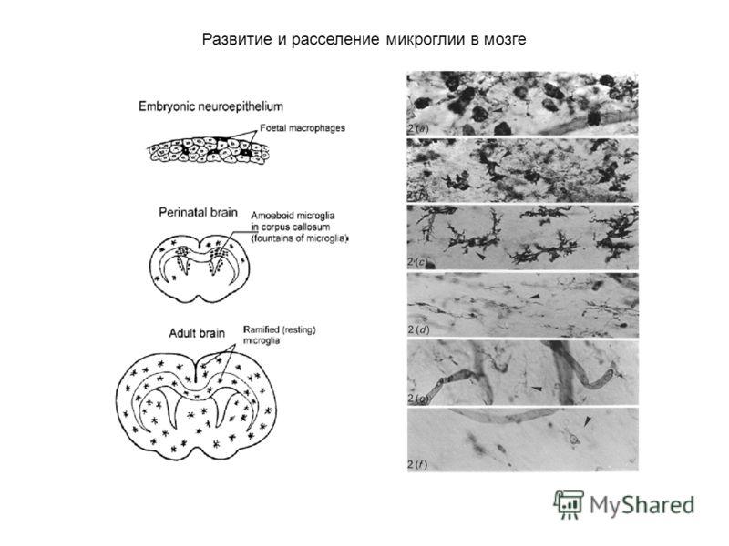 Развитие и расселение микроглии в мозге