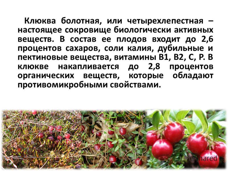 Клюква болотная, или четырехлепестная – настоящее сокровище биологически активных веществ. В состав ее плодов входит до 2,6 процентов сахаров, соли калия, дубильные и пектиновые вещества, витамины В1, В2, С, Р. В клюкве накапливается до 2,8 процентов
