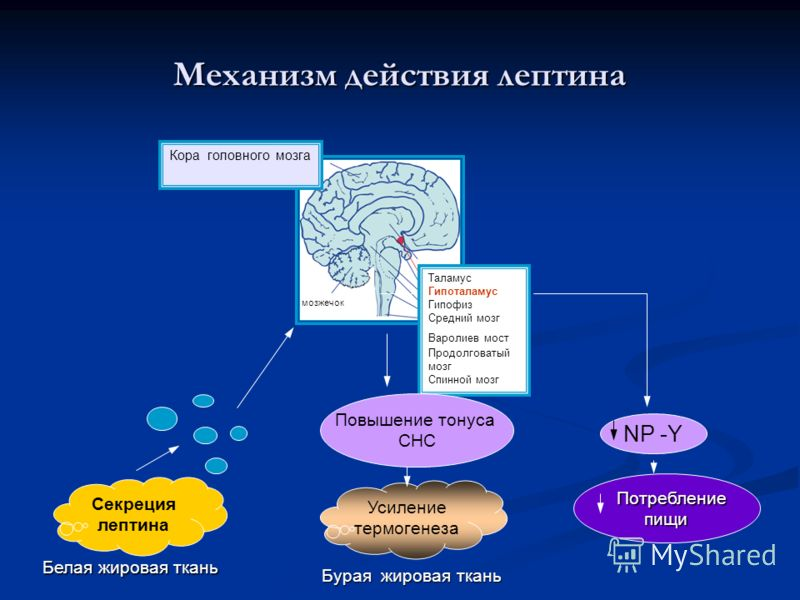 Механизм действия лептина Секреция лептина Белая жировая ткань Потребление Потреблениепищи Таламус Гипоталамус Гипофиз Средний мозг Варолиев мост Продолговатый мозг Спинной мозг Кора головного мозга NP -Y мозжечок Повышение тонуса СНС Усиление термог