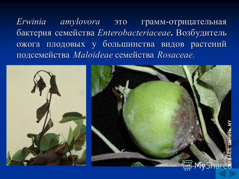 Erwinia amylovora это грамм-отрицательная бактерия семейства Enterobacteriaceae. Возбудитель ожога плодовых у большинства видов растений подсемейства Maloideae семейства Rosaceae.