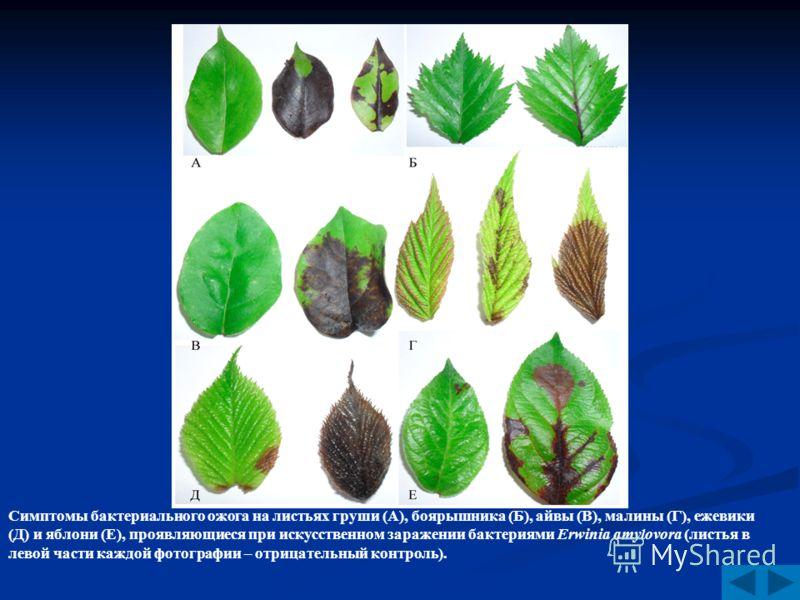 Симптомы бактериального ожога на листьях груши (А), боярышника (Б), айвы (В), малины (Г), ежевики (Д) и яблони (Е), проявляющиеся при искусственном заражении бактериями Erwinia amylovora (листья в левой части каждой фотографии – отрицательный контрол