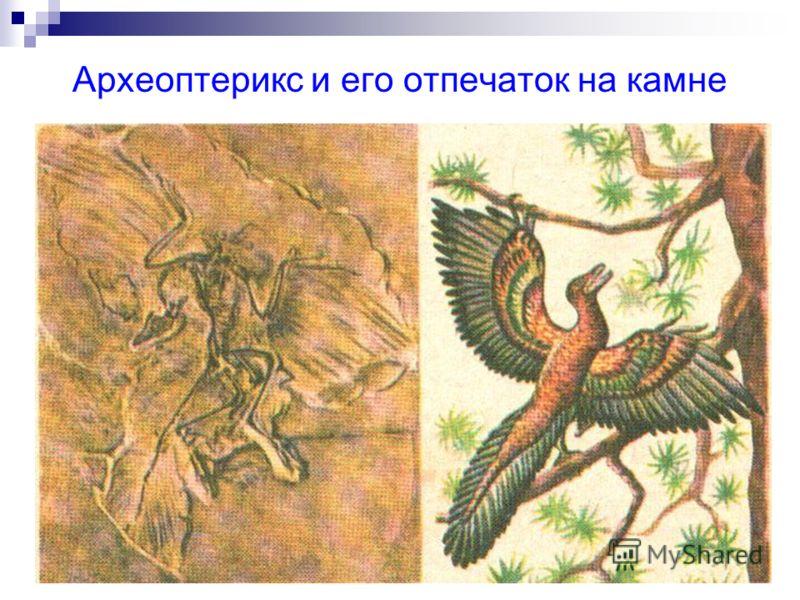 Археоптерикс и его отпечаток на камне