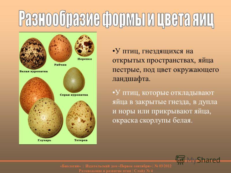 У птиц, гнездящихся на открытых пространствах, яйца пестрые, под цвет окружающего ландшафта. У птиц, которые откладывают яйца в закрытые гнезда, в дупла и норы или прикрывают яйца, окраска скорлупы белая. «Биология» | Издательский дом «Первое сентябр