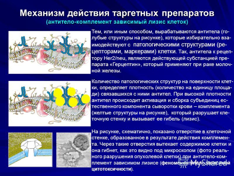Механизм действия таргетных препаратов (антитело-комплемент зависимый лизис клеток) Тем, или иным способом, вырабатываются антитела (го- лубые структуры на рисунке), которые избирательно вза- имодействуют с патологическими структурами (ре- цепторами,