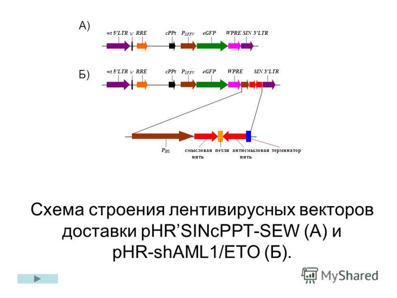 wt 5LTR RRE cPPt P SFFV eGFP WPRE SIN 3LTR P H1 смысловая петля антисмыловая терминатор нить нить wt 5LTR RRE cPPt P SFFV eGFP WPRE SIN 3LTR Схема строения лентивирусных векторов доставки pHRSINcPPT-SEW (А) и pHR-shAML1/ETO (Б). А) Б)
