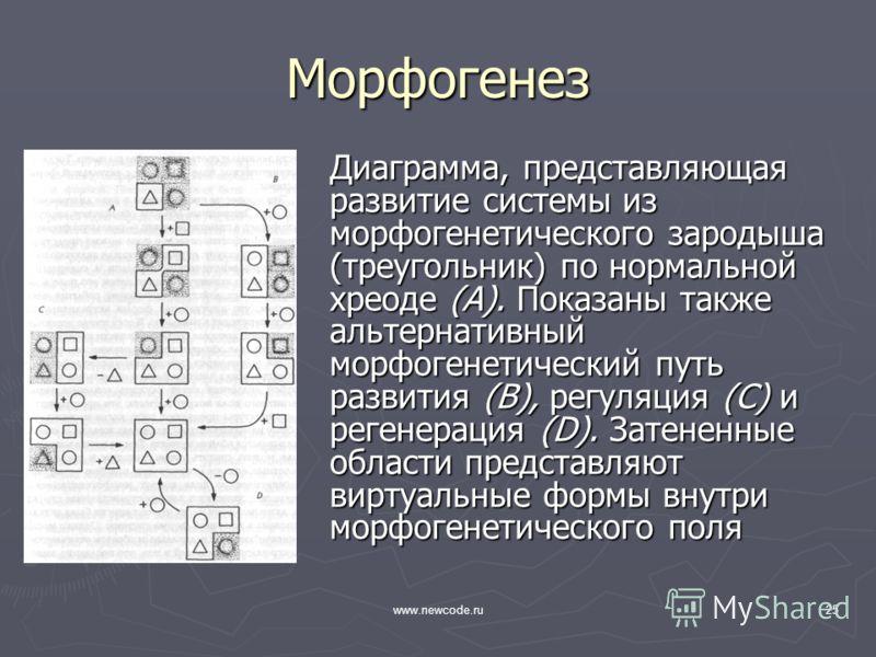 www.newcode.ru25 Морфогенез Диаграмма, представляющая развитие системы из морфогенетического зародыша (треугольник) по нормальной хреоде (А). Показаны также альтернативный морфогенетический путь развития (В), регуляция (С) и регенерация (D). Затенен