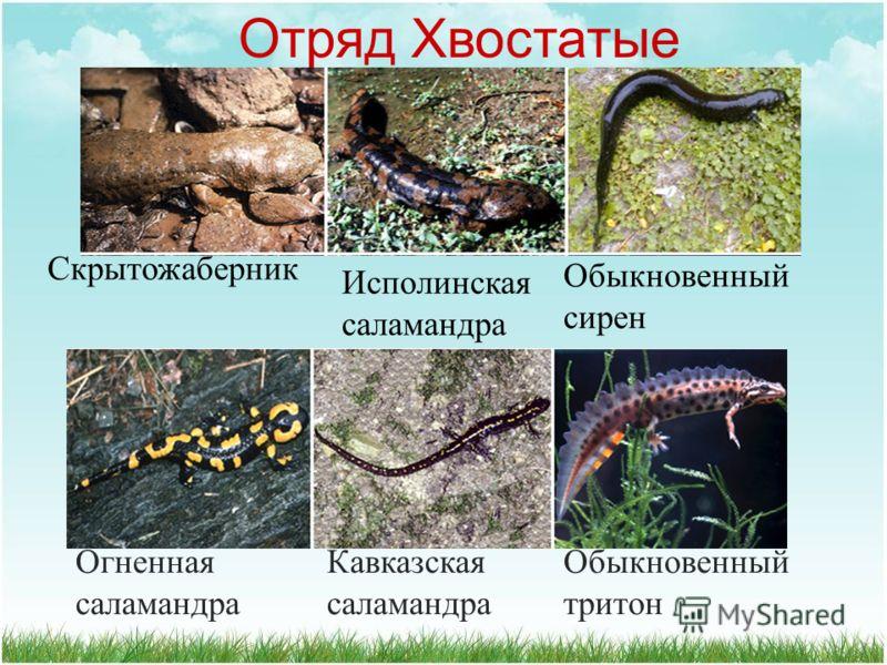 Отряд Хвостатые Европейский протей Тигровая амбистома Мраморная амбистома Амфиума Пещерная саламандра Сибирский углозуб